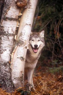 Gray Wolf in a Forest by John Alves
