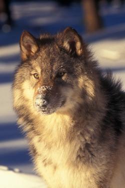 Gray Wolf in Snow by John Alves