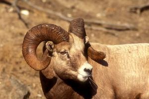 Male Bighorn Sheep Close-Up by John Alves