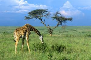 Masai Giraffe Grazing on the Serengeti with Acacia Tree and Clouds by John Alves