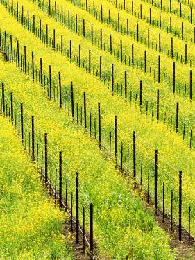 Mustard Plants in Vineyard, Napa Valley Wine Country, California, USA by John Alves