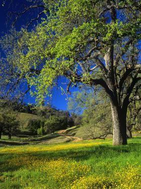 Oaks and Flowers, California, USA by John Alves