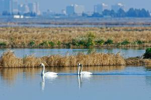Two Male and One Female Tundra Swans Swimming , the Background by John Alves