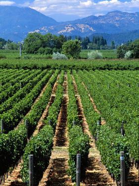 Vineyard, Calistoga, Napa Valley, California by John Alves