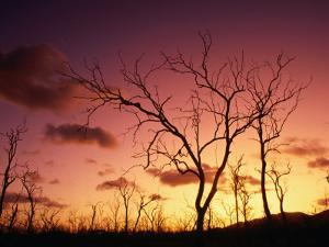 Dead Trees Silhouetted at Sunset, Airlie Beach, Queensland, Australia by John Banagan