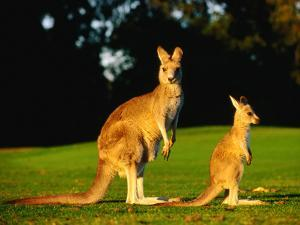 Kangaroo and Joey by John Banagan
