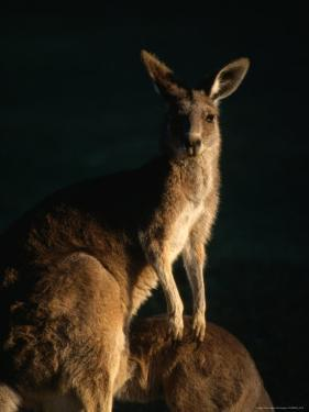 Kangaroo at Night, Anglesea, Australia by John Banagan