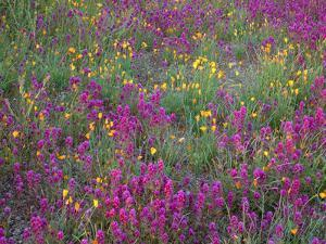 Arizona, Organ Pipe Cactus National Monument, Spring Bloom of Owl's Clover and Gold Poppy by John Barger