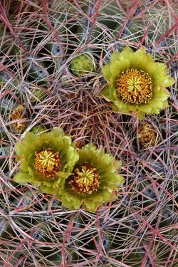 Barrel Cactus in Bloom, Anza-Borrego Desert State Park, California, Usa by John Barger