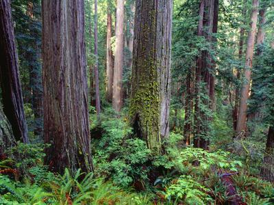 California, Redwoods Tower Above Ferns and Seedlings in Understory
