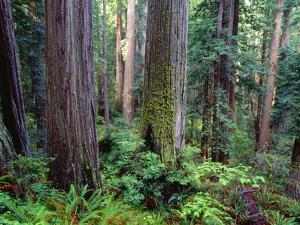 California, Redwoods Tower Above Ferns and Seedlings in Understory by John Barger