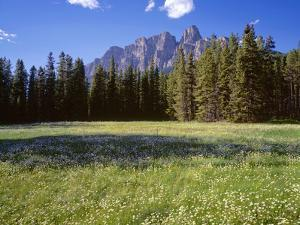 Canada, Alberta, Banff National Park, Daisies Bloom in Meadows Beneath Castle Mountain by John Barger