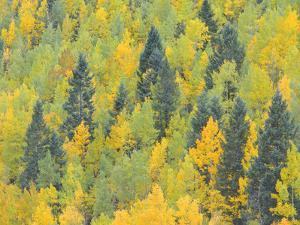 Colorado, Fall Adds Color to Aspen and Conifer Forest Near Lime Creek in the San Juan Mountains by John Barger