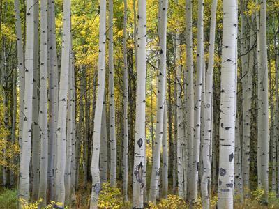 Colorado, Gunnison National Forest, Mature Grove of Quaking Aspen Displays Fall Color