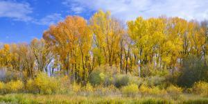 Colorado, Narrowleaf Cottonwood and Willows Display Fall Color Along a Side Channel, Gunnison River by John Barger