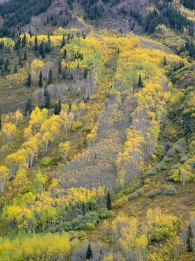 Colorado, White River National Forest, Autumn Colored Quaking Aspen and Conifers on Steep Slopes by John Barger