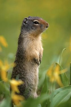 Columbian Ground Squirrel Among Glacier Lilies, Glacier National Park, Montana, Usa by John Barger