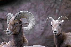 Desert Bighorn Sheep Ram and Ewe, Southern Arizona, Usa by John Barger