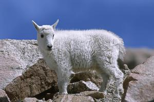 Mountain Goat Kid on Rocks, Mount Evans Recreation Area, Arapaho National Forest, Colorado, Usa by John Barger