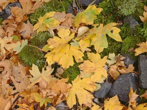 OR, Columbia River Gorge National Scenic Area. Autumn leaves of bigleaf maple on ground by John Barger