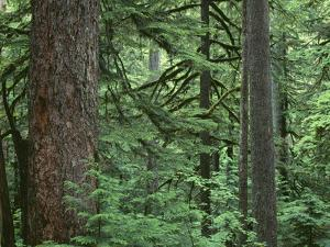 OR, Columbia River Gorge National Scenic Area. Old growth forest dominated by Douglas-fir by John Barger