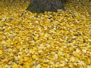 OR, Mount Hood NF. Fall-colored leaves of black cottonwood by John Barger