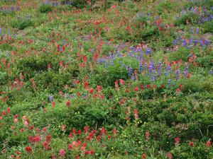 OR, Mount Hood NF. Mount Hood Wilderness, Paintbrush, lupine and heather display by John Barger