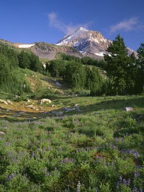 OR, Mount Hood NF. Mount Hood Wilderness, Summer meadow of lupine blooms by John Barger