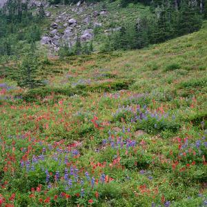 OR, Mount Hood Wilderness, Mount Hood NF, Paintbrush and lupine bloom by John Barger