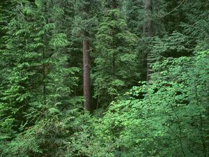 OR, Willamette NF. Middle Santiam Wilderness, Old-growth forest with Douglas fir, western hemlock by John Barger