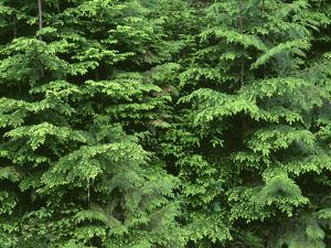 OR, Willamette NF. Middle Santiam Wilderness, Saplings of western red cedar and western hemlock by John Barger