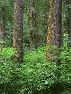 OR, Willamette NF. Springtime in old growth forest of Douglas fir and western hemlock by John Barger