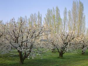 Oregon, Columbia River Gorge, fruit orchard near Mosier with distant Lombardy poplar trees by John Barger