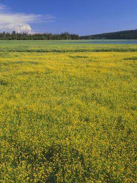 Oregon. Deschutes NF, extensive bloom of subalpine buttercup in wet meadow near Sparks Lake. by John Barger