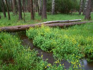Oregon. Deschutes NF, yellow monkeyflower blooms along Cold Spring beneath forest of aspen and pine by John Barger