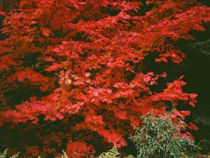 Oregon, Mount Hood NF. Bright red leaves of vine maple in autumn contrast with ferns and shrub. by John Barger