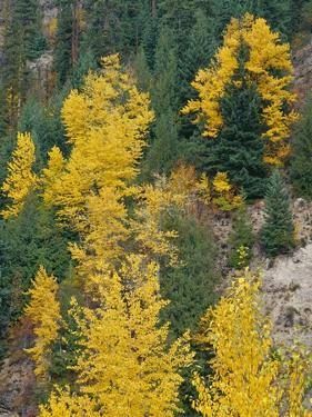 Oregon, Mount Hood NF. Fall colored black cottonwood and conifers in the Upper Hood River Valley. by John Barger
