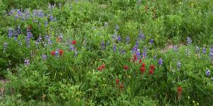 Oregon. Mount Hood NF, Mount Hood Wilderness, Paintbrush and lupine display summer bloom by John Barger