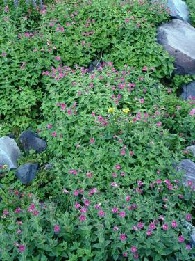Oregon. Mount Hood NF, Mount Hood Wilderness, purple blossoms of Lewis monkeyflower by John Barger