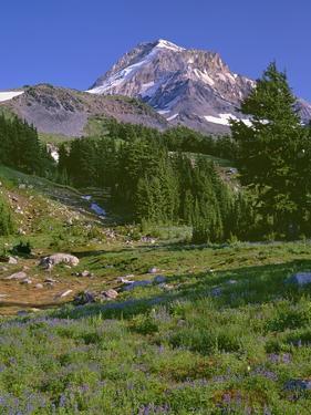 Oregon. Mount Hood NF, Mount Hood Wilderness, summer meadow of lupine blooms by John Barger