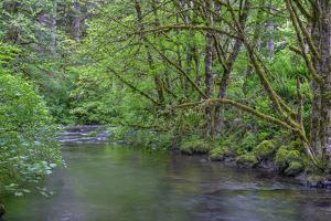 Oregon. Silver Falls State Park, spring flora, primarily maple and red alder by John Barger