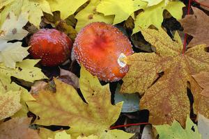 Oregon, Willamette NF. Amanita mushroom and fall-colored leaves of bigleaf maple on forest floor. by John Barger