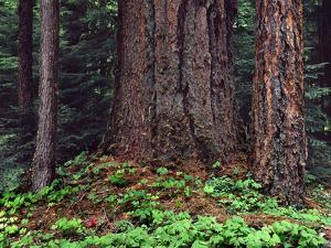 Oregon, Willamette NF. Large trunk of old growth Douglas fir and forest floor with vanilla leaf. by John Barger