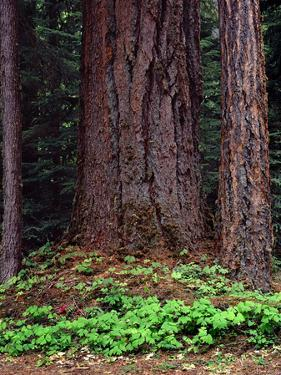 Oregon. Willamette NF, large trunk of old growth Douglas fir and forest floor with vanilla leaf. by John Barger