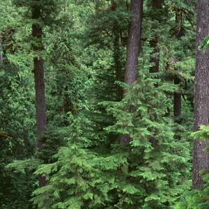 Oregon. Willamette NF, Middle Santiam Wilderness, Old-growth forest with large Douglas fir by John Barger