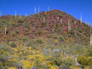 Saguaro National Park, Brittlebush Blooms Beneath Saguaro Cacti in Red Hills Area by John Barger