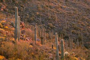 USA, Arizona, Saguaro National Park, Tucson Mountain District by John Barger