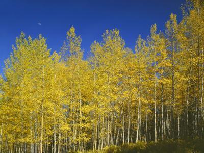 USA, Colorado, Gunnison National Forest. Autumn Colored Aspen Grove Beneath Moon and Blue Sky