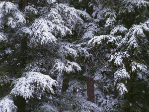 USA, Oregon, Crater Lake National Park. Winter snow clings to mountain hemlock trees. by John Barger