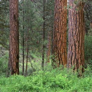 USA, Oregon, Deschutes National Forest. Grove of ponderosa pine in spring, near the Metolius River. by John Barger